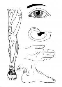 Lámina anatómica con una pierna, ojo, oreja, mano y pie a tinta negra